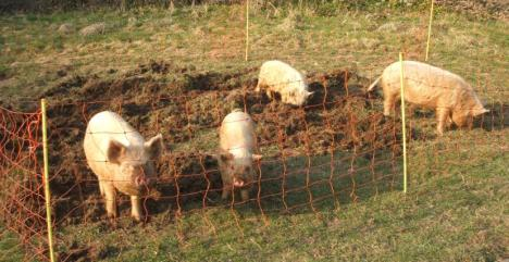 Once we realised how hard digging was, we set the weaners to work on the other segment that needed sorting!